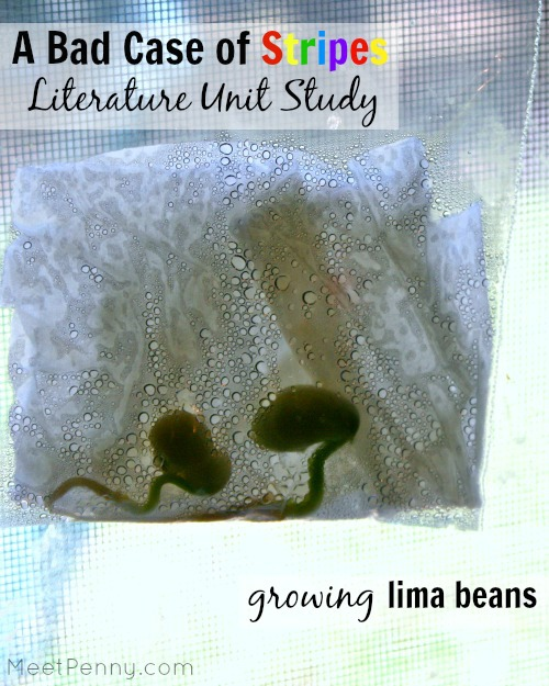 Science experiment for A Bad Case of Stripes - dissect and grow lima beans
